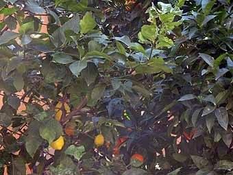 2851.Citronniers et orangers